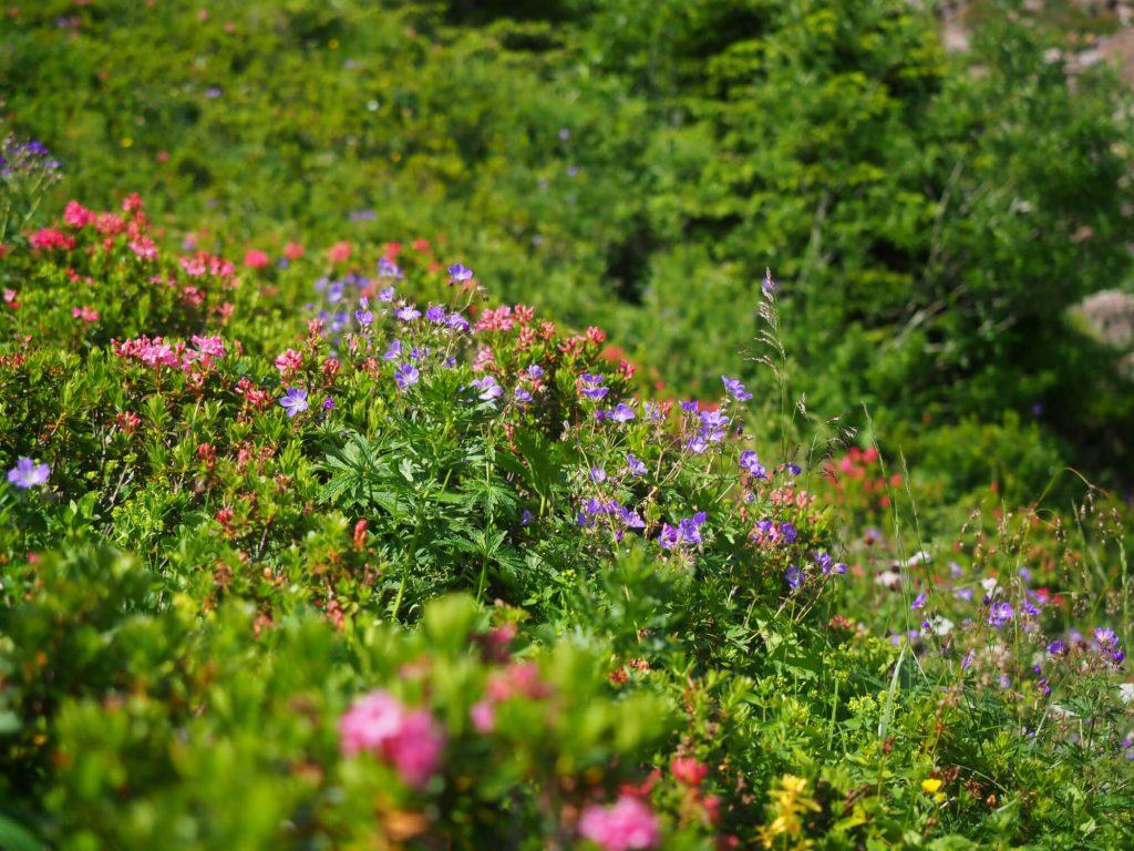 Paarse en roze bloemetjes langs het wandelpad van de Lärchfilzkogel naar de Wildsee