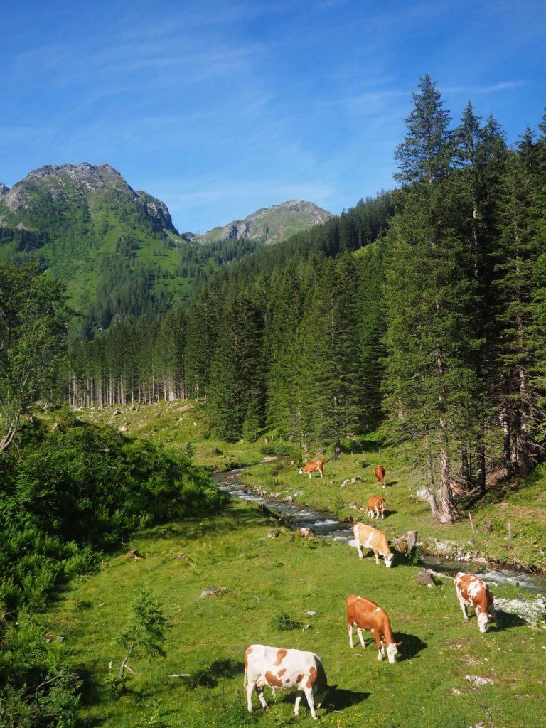 Beekje door de bergen met koeien in het SalzburgerLand